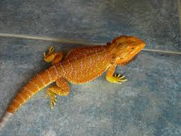 rio reptiles bearded dragons sale