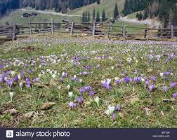italy south tyrol ultental farmhouses wood fence crocus meadow