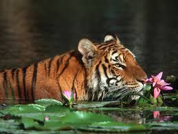 bangladesh images royal bengal tiger hd wallpaper and