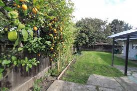 Trees Backyard Outdoor Lemon Trees In The Garden Time To Pruning Fruit Trees