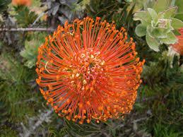 the world u0027s best photos of flowers and leucospermumcordifolium