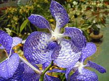 orchid pictures orchidaceae