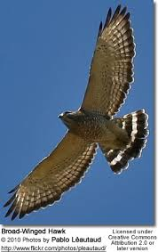Backyard Birds Utah Broad Winged Hawk Buteo Playpterus Kansas Birds Backyard