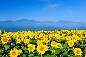 Flowers In Japanese Culture - sunflower fields colors summer in japan japan monthly web magazine