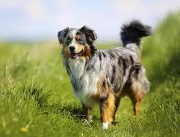 australian shepherd uk elite dog training dogz training equipment shop london uk