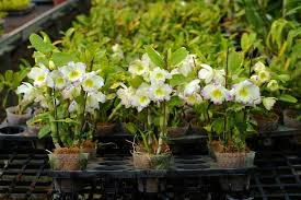 dendrobium orchids taiwan dendrobium orchid exports greenlighted for us market