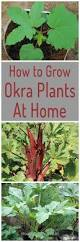 how to grow okra plants at home home gardeners