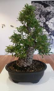 bonsai australian native plants bonsai print stephenrrandall
