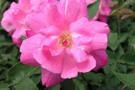 china with roses parsons pink china roses uk