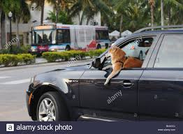 Stunningly by A Stunningly Beautiful Shiba Inu Dog Seemingly Driving A Bmw Along