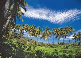 palmier du chili parcourez l u0027île de la réunion en photos page 8 sur 23 blog ok