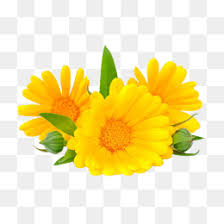 calendula flowers calendula png vectors psd and icons for free pngtree
