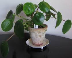 Small House Plants by Money Plant Google Search Decor Plants Pinterest