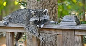 Raccoons In Backyard Wildlife In Your Florida Backyard People U0027s Trust Insurance