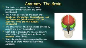 Brainstem Mass The Brain Principles Of Health Science Name The Main Divisions Of