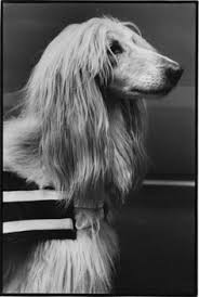 afghan hound top speed stop and smell the flowers afghan hounds pinterest afghan