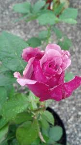 Lavender Roses Roses Forum Beautiful Lavender Rose With Heavy Perfume Garden Org