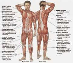 The Human Anatomy Muscles Labeling The Muscles Of The Body Anatomy Organ