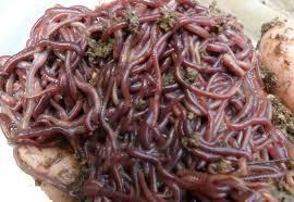 Obat Cacing Tipes cacing tanah untuk mengatasi penyakit tipes dan cara mengolahnya