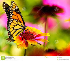 Very Pretty Flowers - monarch butterfly on a pretty flower stock image image 25385261