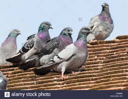 How To Get Rid Of Pigeons Off My Roof by Pigeons On Rooftop Stock Photos U0026 Pigeons On Rooftop Stock Images