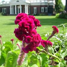 coxcomb flower cockscomb jefferson s monticello
