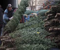 how much do fraser fir christmas trees cost best images
