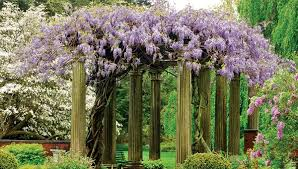Trellis For Wisteria 19 Best Pergola Plants Climbing Plants For Pergolas And Arbors