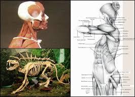 Online Human Body Anatomy Bundle Human U0026 Animal Anatomy Plus 3d Ecorche S