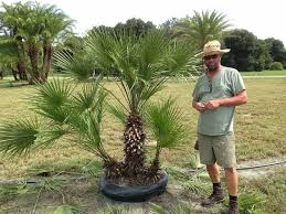 mediterranean fan palm tree european fan palm plantant com