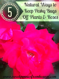 Plants That Repel Aphids by How To Get Rid Of Bugs On Your Plants U0026 Rose Bushes Natural