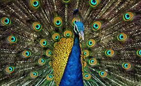 peafowl wikipedia
