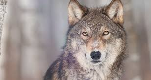 the meaning of a wolf sighting california psychics