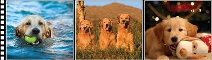 Comfort Retrievers For Adoption Southern California Golden Retriever Rescue Finding Loving