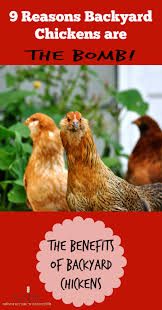 What To Feed Backyard Chickens by 9 Reasons Backyard Chickens Are The Bomb The Benefits Of Backyard
