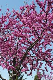 redbud trees make great medium sized ornamental trees these trees