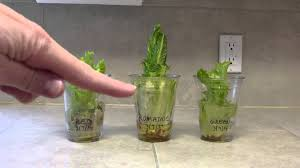 Vegetables You Can Regrow by Growing Vegetables In Water Week 2 Results Youtube