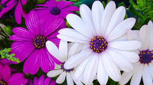 different types of half hardy annual flowers suitable weather
