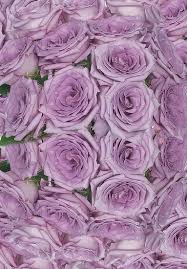 lavender roses lavender coolwater roses calyx flowers inc