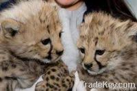 lions for sale south africa lions teeth and clows south lions teeth and