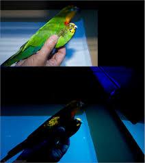 uv light for birds flourescence of superb parrot and budgie plumage same bi flickr
