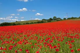 the story behind memorial day u0027s red poppy garden collage magazine