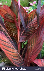 variegated cannas plants stock photos variegated cannas plants