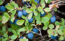 mirtillo in vaso vivai montina piccoli frutti