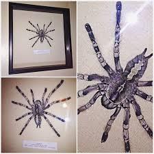 ghost ornamental tarantula pinned in shadowbox by joel fenton on