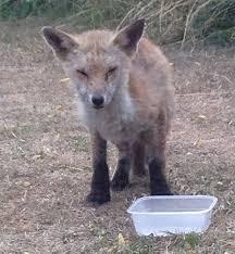 fox mange free mange treatment canine mange sarcoptic mange foxes