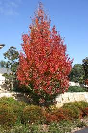 pyrus semi and pyrus calleryana chanticleer