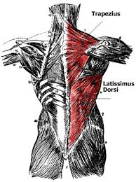 Anatomy Of Body Muscles Anatomy Of The Back Muscles Lats Teres Major Teres Minor