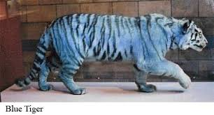 white and coloured tigers tigers and other cats