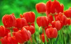wallpaper bunga tulip wallpaper bunga tulip merah flo0123 flowers pinterest flowers